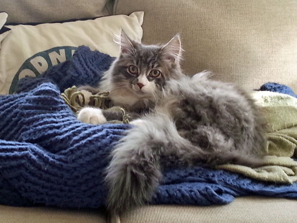 Siberian kitten Farley in his new home at 21 weeks old, 26 May 2014