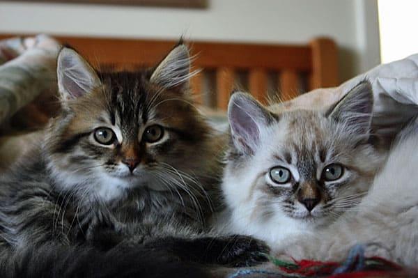 12 -week-old Siberian kittens Felix and Freya