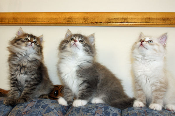 9-week-old Siberian kittens Felix, Farley and Foster