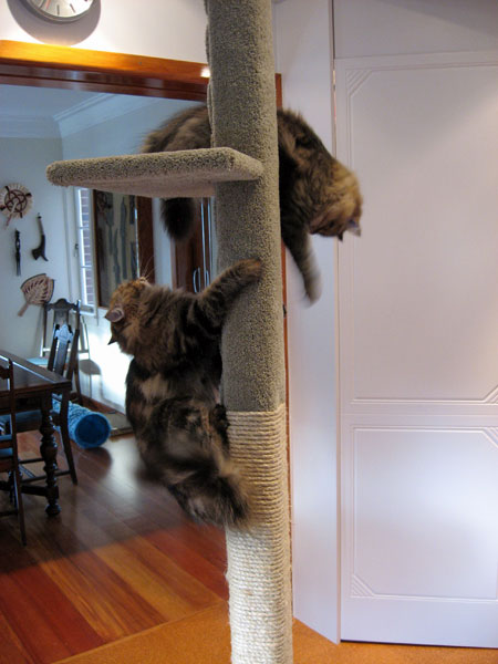 A blur of cat motion as the Felix and Cici discover the new 2m tall Super Scratcher Deluxe climbing post.