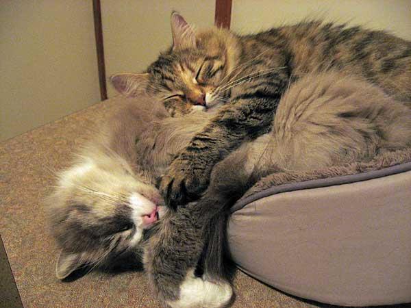 Siberian cats Calina and Harley