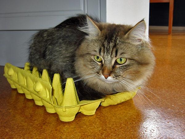 Like many of our Siberian cats, Felix enjoys relaxing on an empty egg carton. 6 Feb 2015