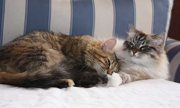 Siberian female cats Calina and Mari