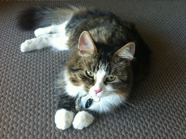 Siberian kitten Gabby at 8 months old