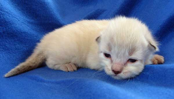 Siberian kitten at 12 days old