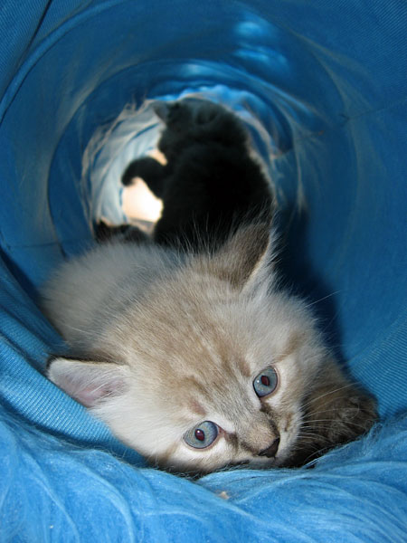 5-week-old Georgey in the cat tunnel