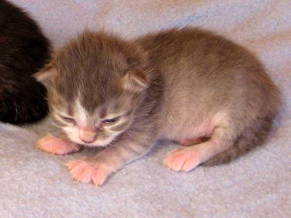 Female blue tabby Siberian kitten at 11 days old
