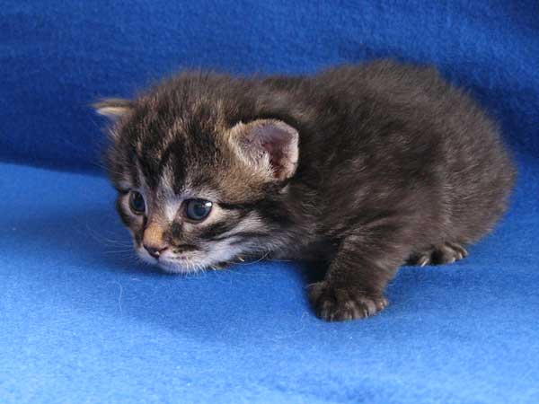 Black/brown tabby Siberian kitten at 17 days old, 30 August 2015