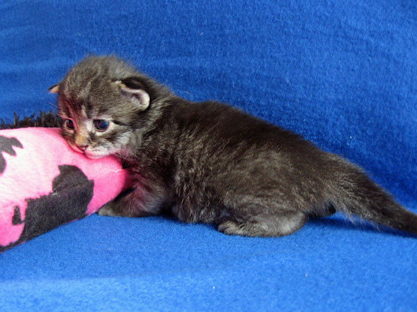 Siberian kitten Hana at 17 days old