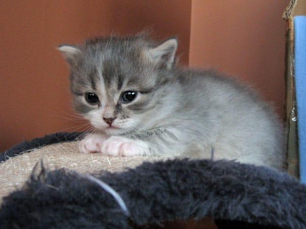 Siberian kitten Hollie at 25 days old