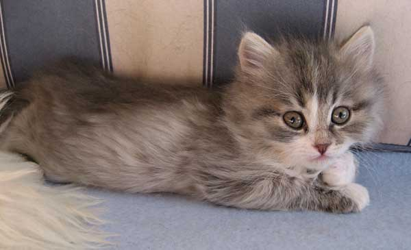 Siberian kitten Hollie at 38 days old, 20 Sept 2015