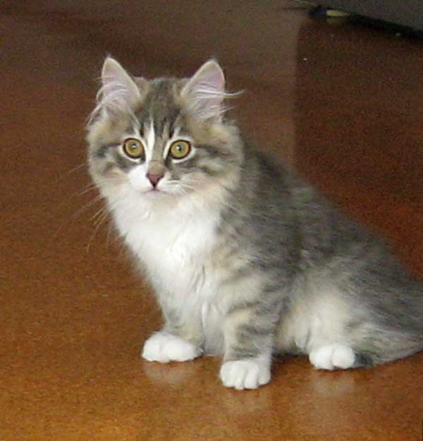 Siberian kitten Hollie at 14 weeks old