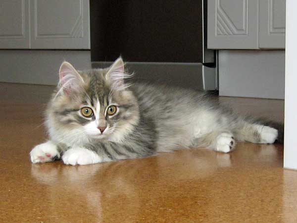 Siberian kitten Hollie at 14 weeks old