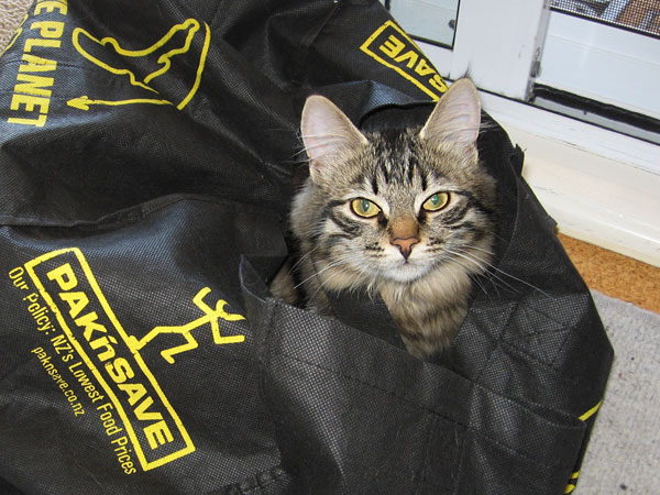 5-month-old Siberian kitten Hoku wastes no time occupying the empty shopping bag