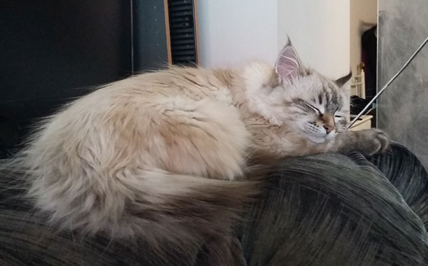 Siberian kitten Beth looks comfortable in her new home, 29 Dec 2015