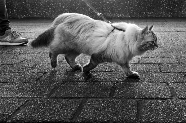 Siberian cat Beth walking in the early morning