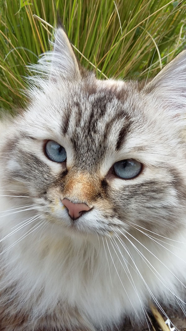 Siberian cat Beth, on one of her daily walks with Helen