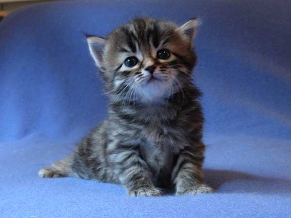Siberian kitten Inka at 25 days old, 19 Sept 2015