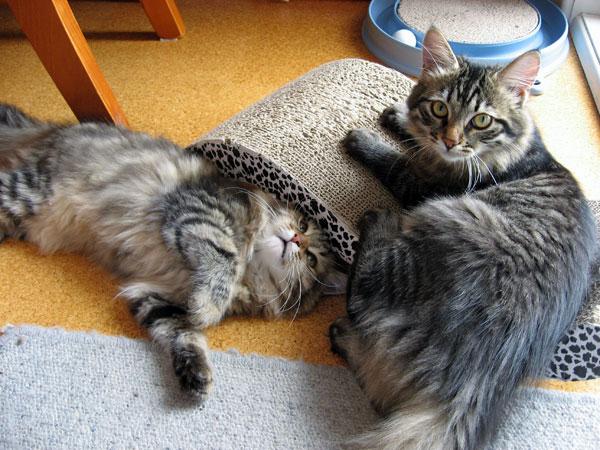 Siberian kitten Izzie (left) at 19 weeks old playing with 21-week-old Hoku, 7 Jan 2016