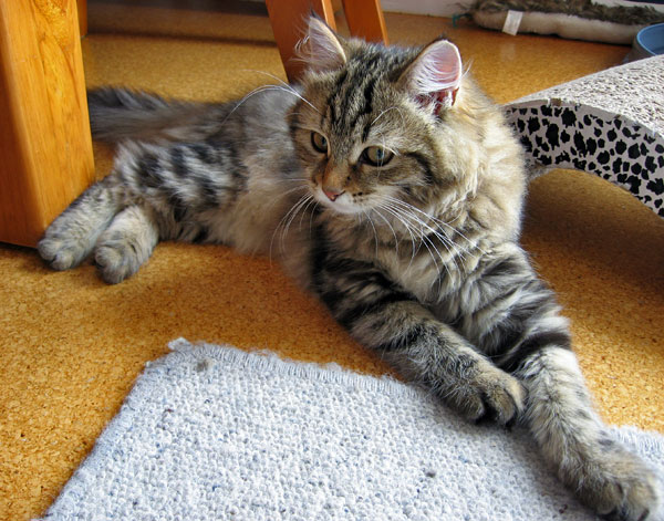 Siberian kitten Izzie at 19 weeks old, 7 Jan 2016