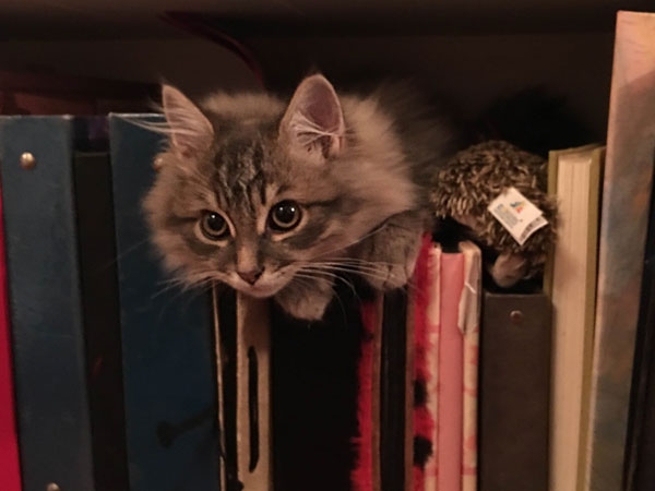 Siberian kitten Georgy, April 2016