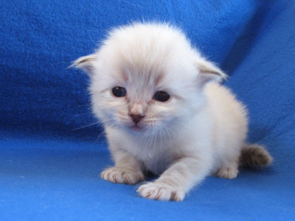 Male sealpoint Siberian kitten at 19 days old