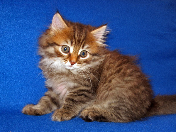 Black/brown tabby Siberian kitten JoJo at 7 weeks old
