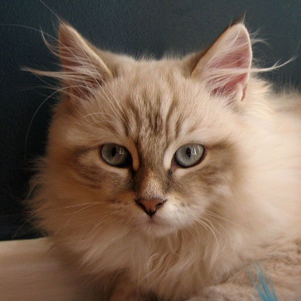 Siberian kitten Juniper at 4.5 months old, 22 April 2016