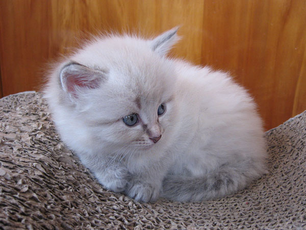 Siberian kitten Ksenia at four weeks old, 29 September 2016