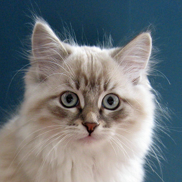 Siberian kitten Kiska at 13 weeks old, 29 Nov 2016