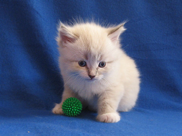 Siberian kitten Katrina at 4 weeks old, 29 September 2016