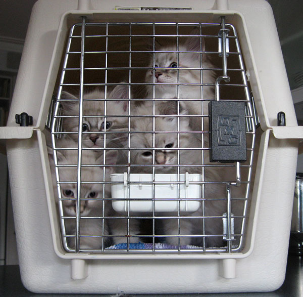 4 Siberian kittens in a carrying case
