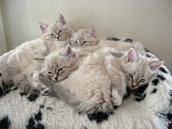 sleepy siberian kittens