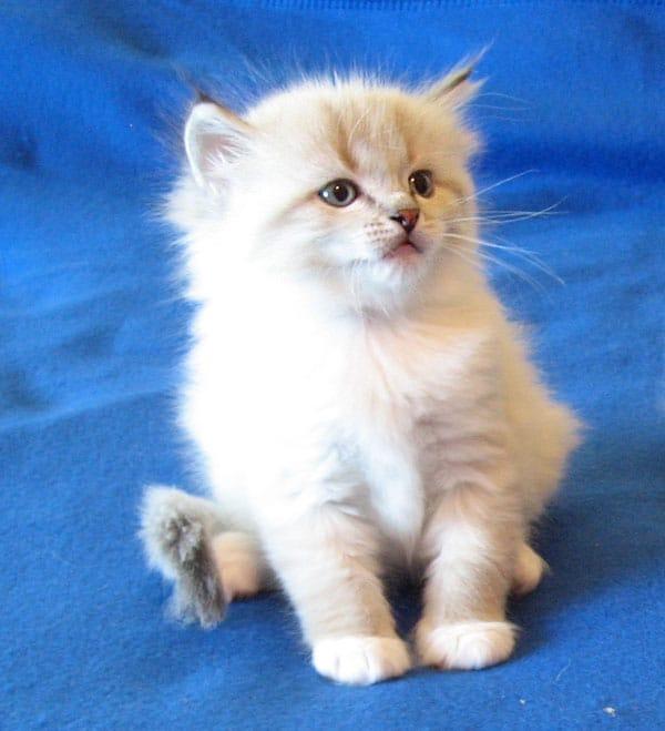 Siberian kitten Linus at 5 weeks old, 17 Dec 2016