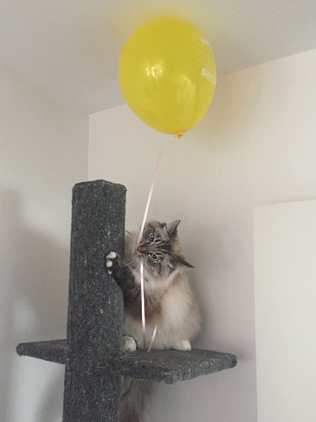Siberian cat Max at 9 months old, 3 Sep 2017