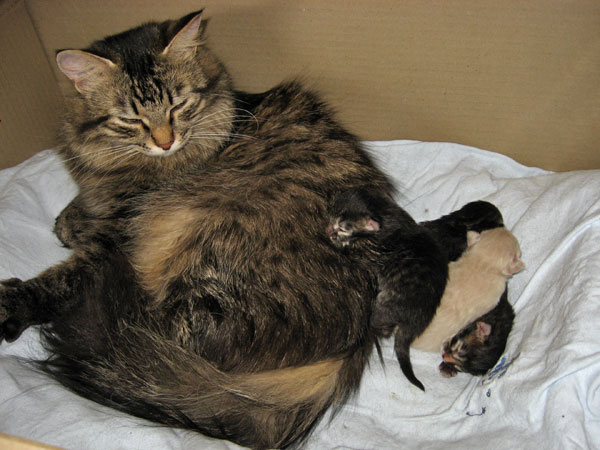 Siberian cat Hoku and her kittens at one day old