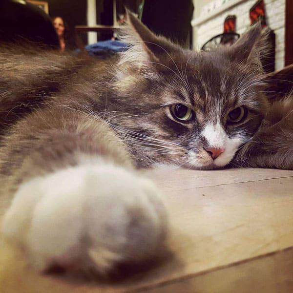 Siberian cat Farley at three years old
