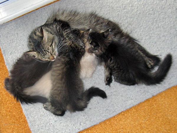 10-week-old M Litter Siberian kittens, 7 Mar 2017