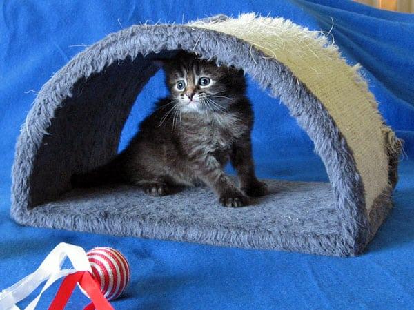 Siberian kitten Malinka at 3 weeks old, 21 Jan 2017