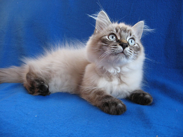 Siberian kitten Monte at 16 weeks old, 17 April 2017