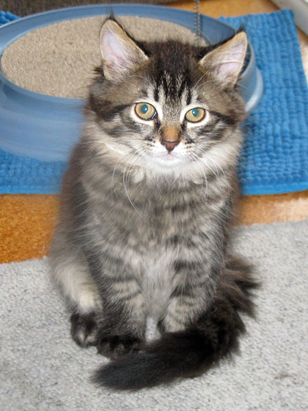 10-week-old Siberian kitten Mira
