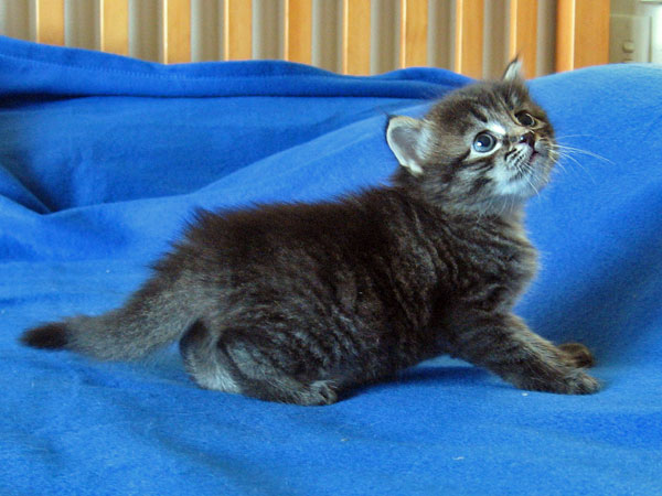 Siberian kitten Mira at 3 weeks old, 21 Jan 2017