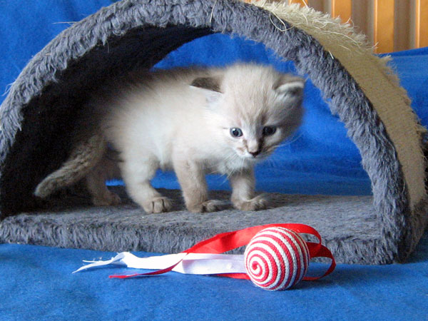 Siberian kitten Monte at 3 weeks old, 21 Jan 2017