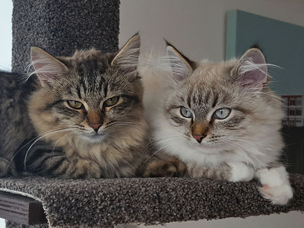 4-month-old Siberian kittens Lucy (left) and Linus