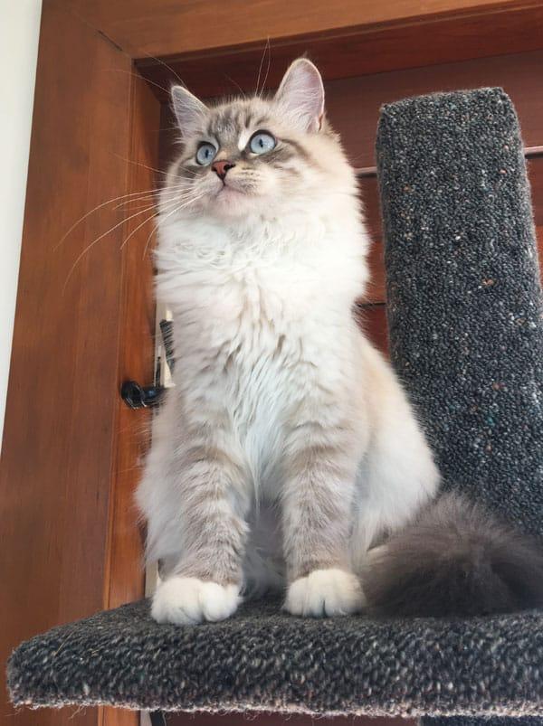 Siberian kitten Kiska with her new Super Scratcher Deluxe climbing post
