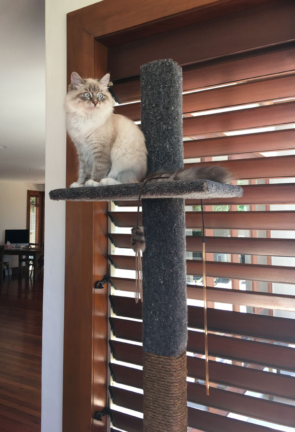 Siberian kitten Kiska with her new Super Scratcher Deluxe climbing post