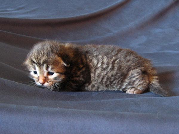 Siberian kitten N2 at 2 weeks old, 30 Apr 2017