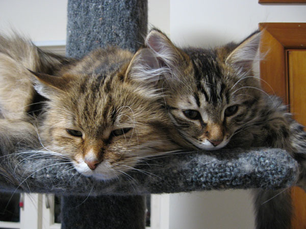 14 wk old Siberian kitten Nala (right) with her mother Cici, 27 Jul 2017
