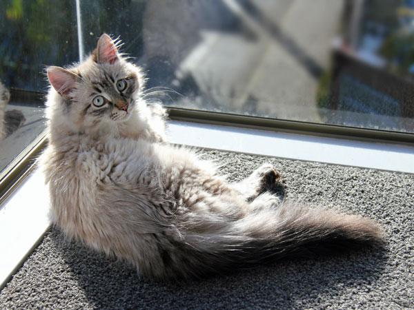 Four-month-old Siberian kitten Nuri