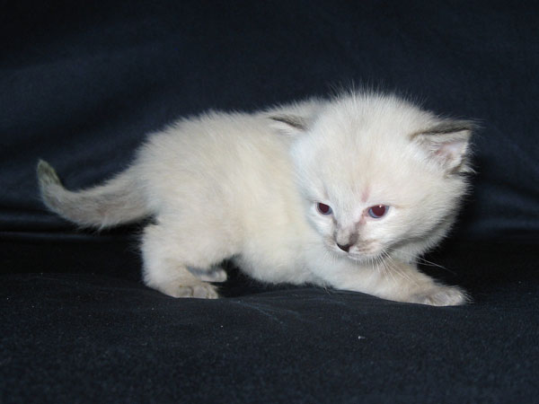 Siberian kitten Obi at 3 weeks old, 22 May 2017